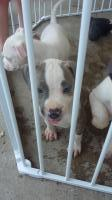 American bully/pit puppies!
